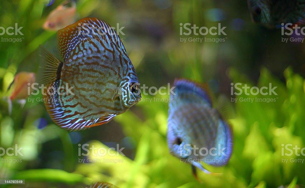 Discus fish family royalty-free stock photo