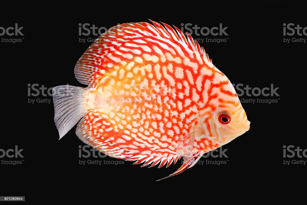 Discus Fish on Black Backgroung stock photo