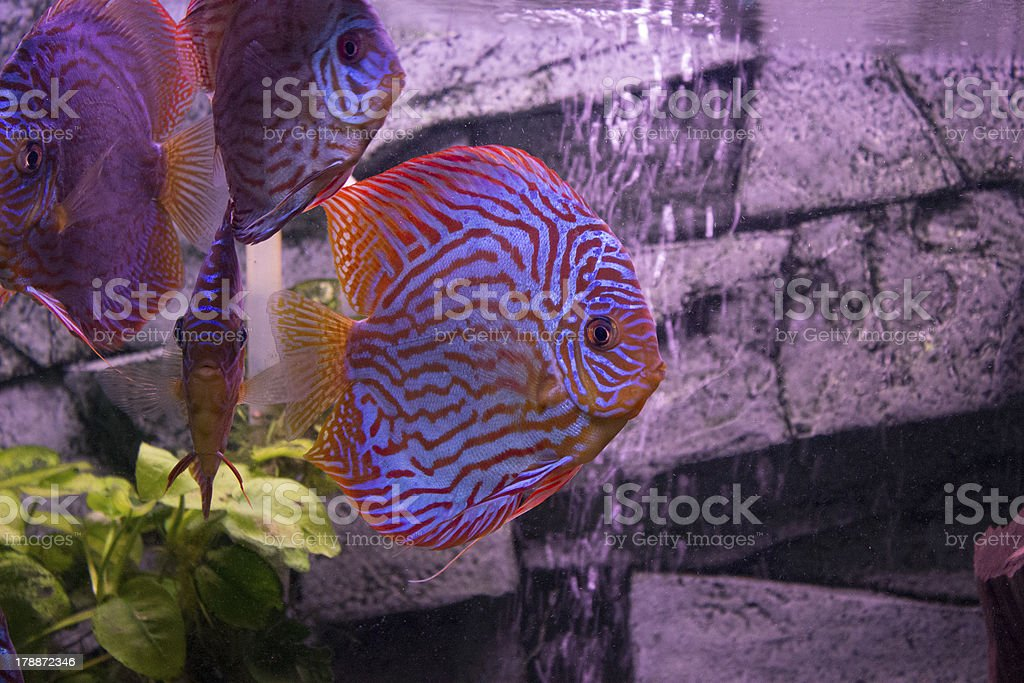 Discus fish royalty-free stock photo