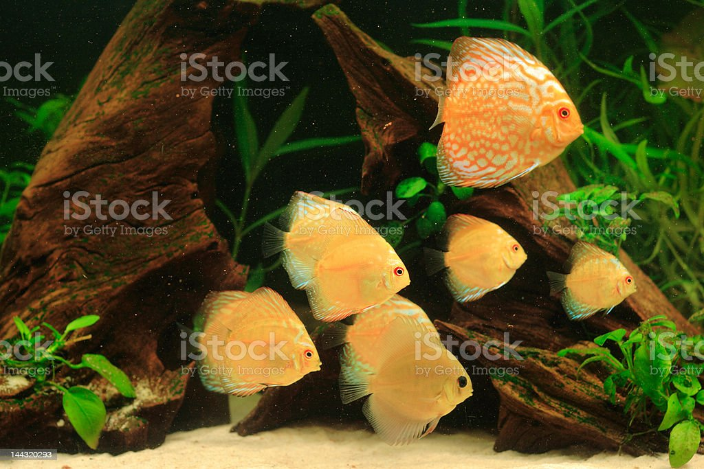 Discus fish - Symphysodon aequifasciatus in aquarium royalty-free stock photo