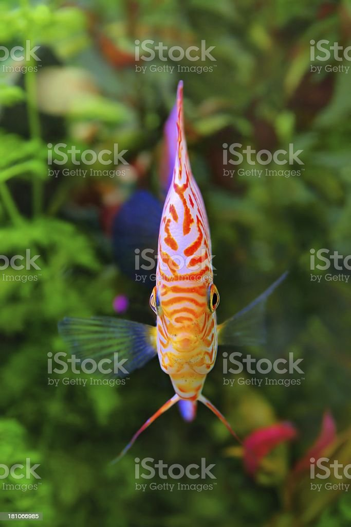 Discus (Symphysodon), multi-colored cichlid in the aquarium royalty-free stock photo