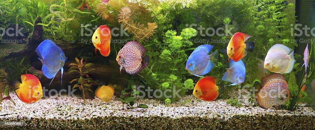 Discus (Symphysodon), multi-colored cichlids in the aquarium stock photo