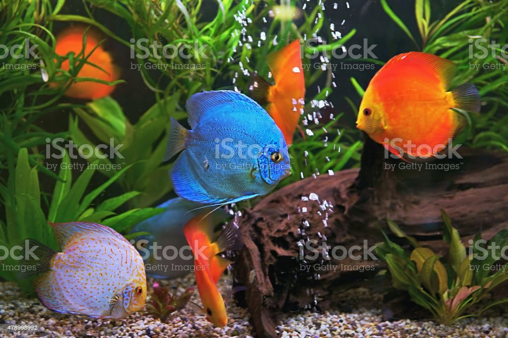 Discus (Symphysodon), multi-colored cichlids in the aquarium stock photo