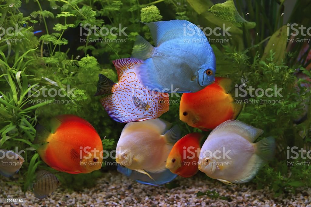 Discus (Symphysodon), multi-colored cichlids in the aquarium royalty-free stock photo