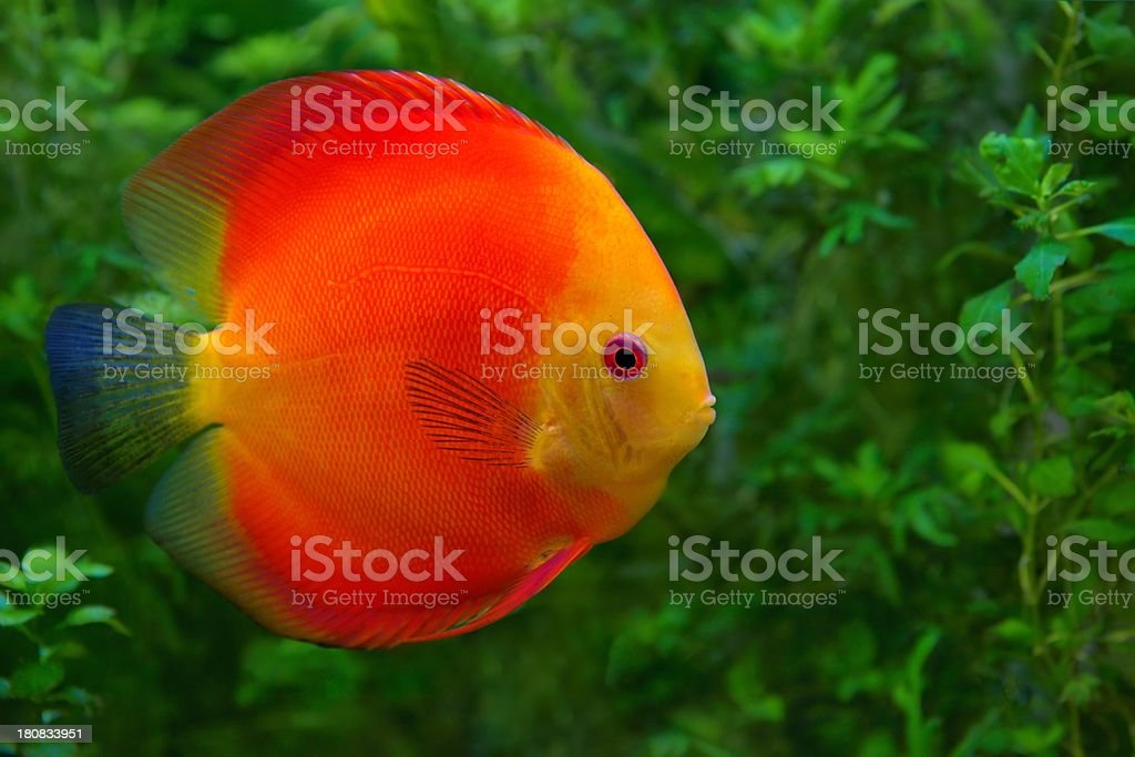Discus (Symphysodon), red cichlid in the aquarium royalty-free stock photo
