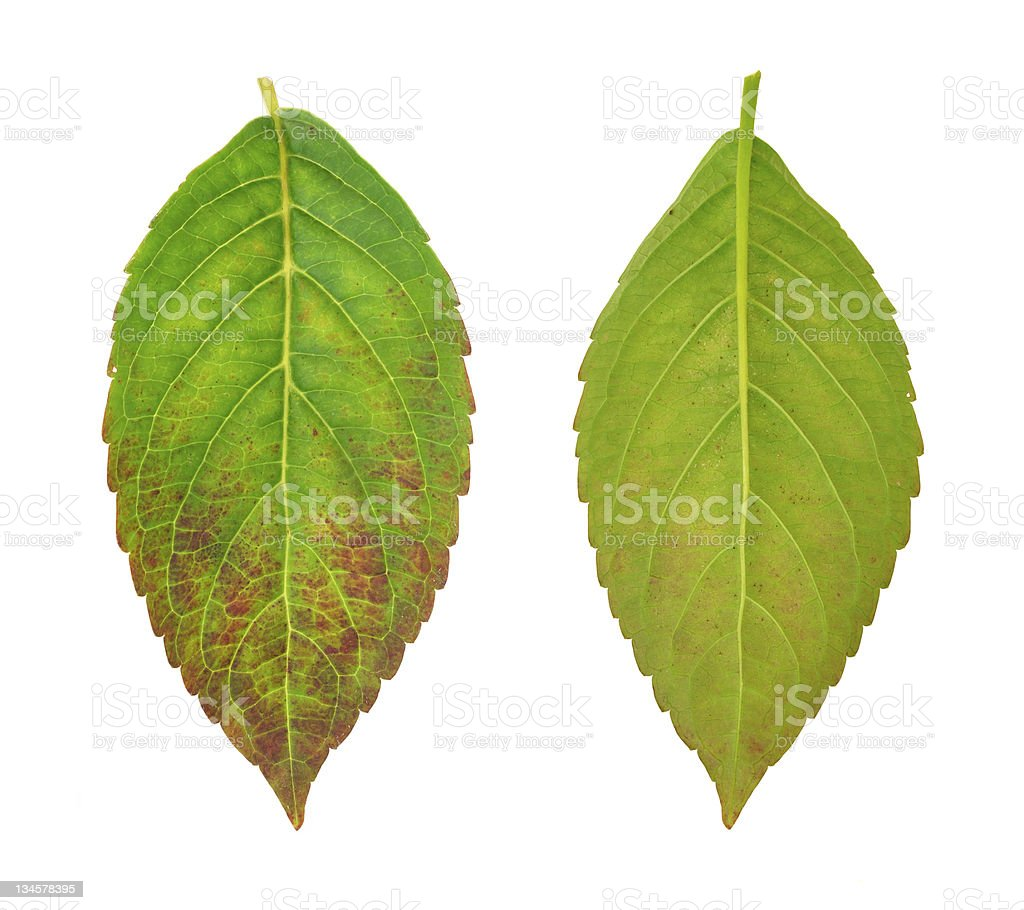 Diseased leaf of  Hydrangea serrata Blue Bird – fungal attacked royalty-free stock photo