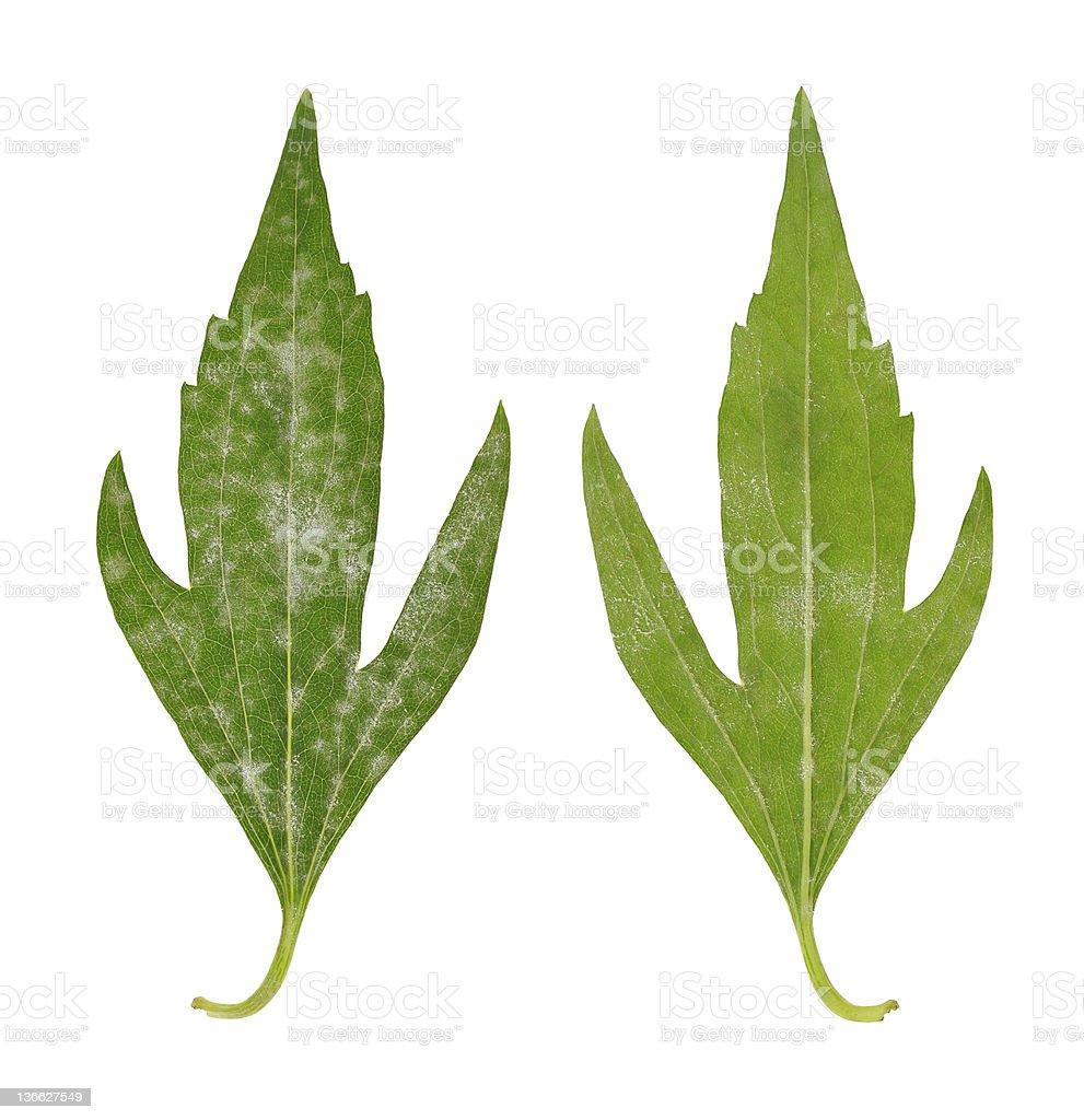 Diseased leaf of  Rudbeckia laciniata flore pleno – fungal attacked royalty-free stock photo