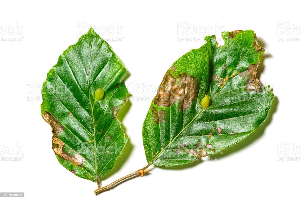Diseased leaves of Fagus sylvatica stock photo