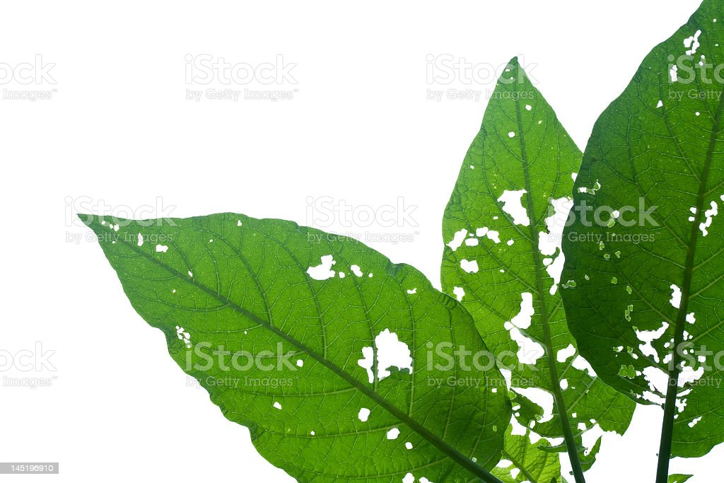 Diseased leaves royalty-free stock photo