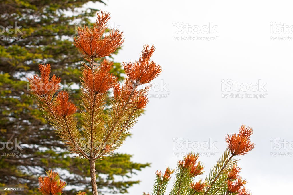 Diseased Pine Tree royalty-free stock photo