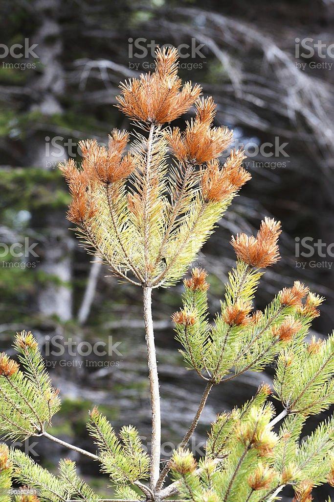 Diseased Pine Tree royalty-free stock photo