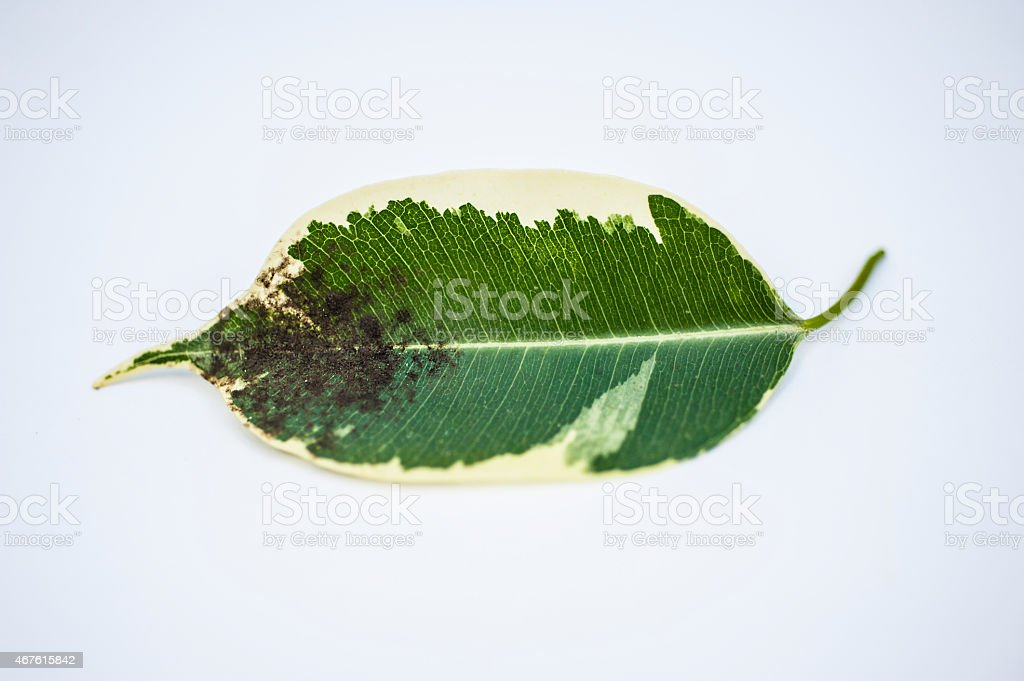 Diseased Plant Leaf stock photo