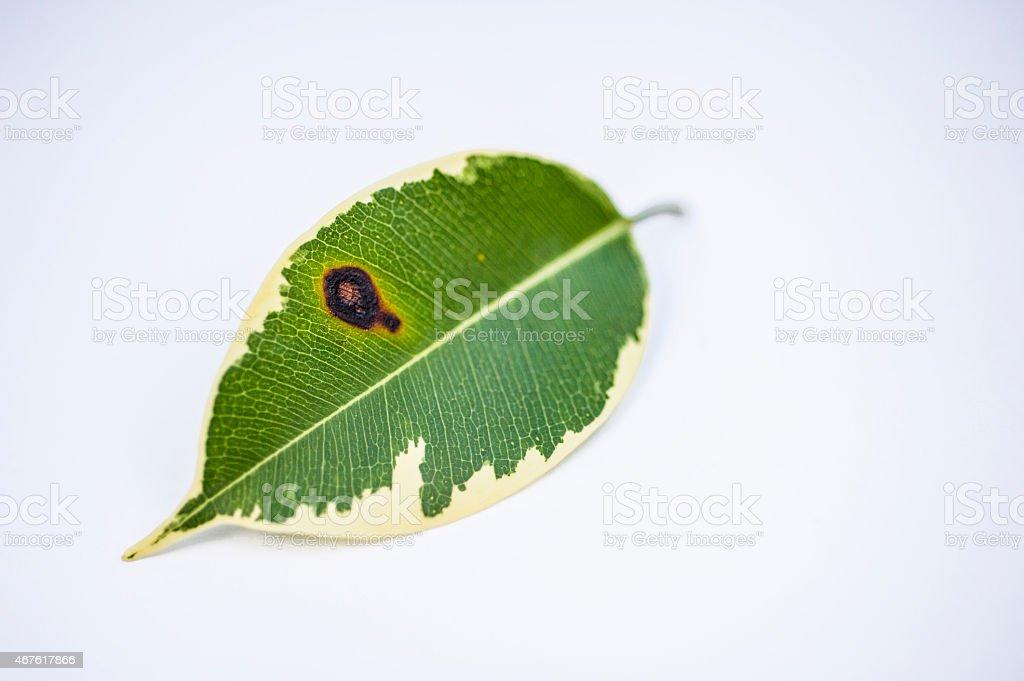 Diseased Plant Leaf stock photo