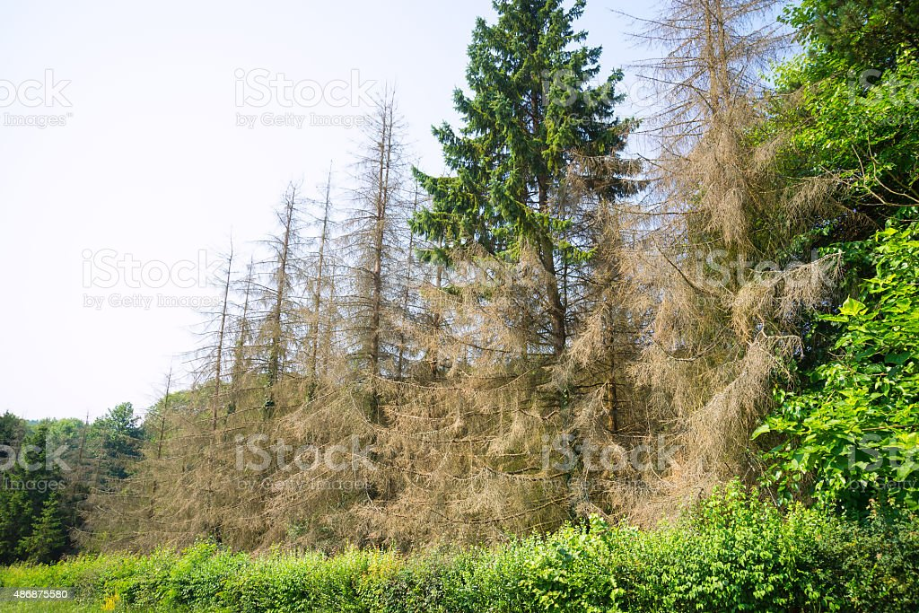Diseased trees in a healthy forest stock photo