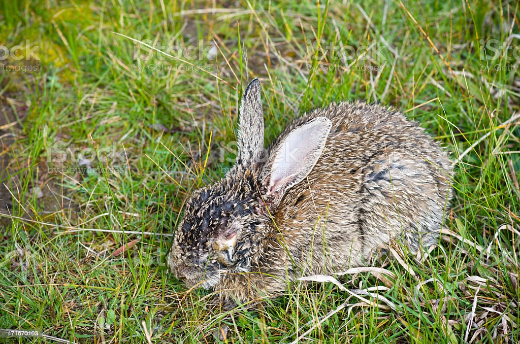 Diseased wild rabbit dying from myxomatosis royalty-free stock photo