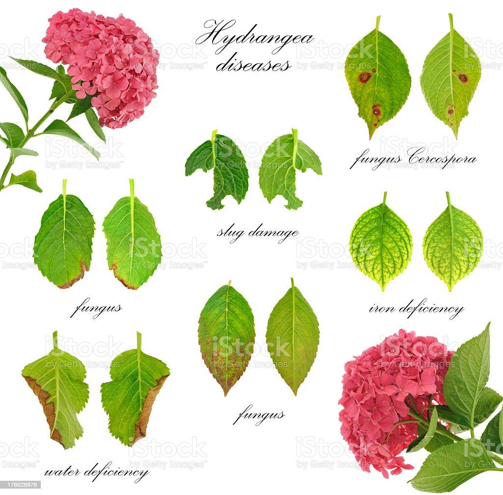 Diseases of Hydrangea macrophylla  flower  isolated on white background royalty-free stock photo