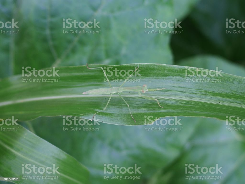 disguise mantis in a forest stock photo