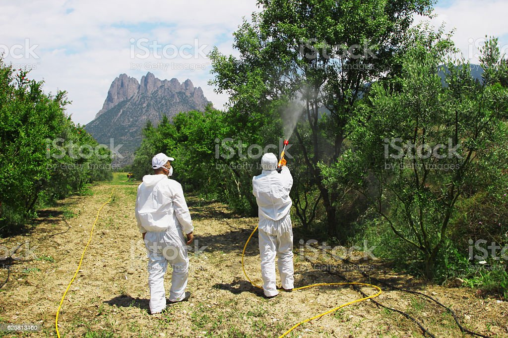 Disinfestation in olive tree stock photo