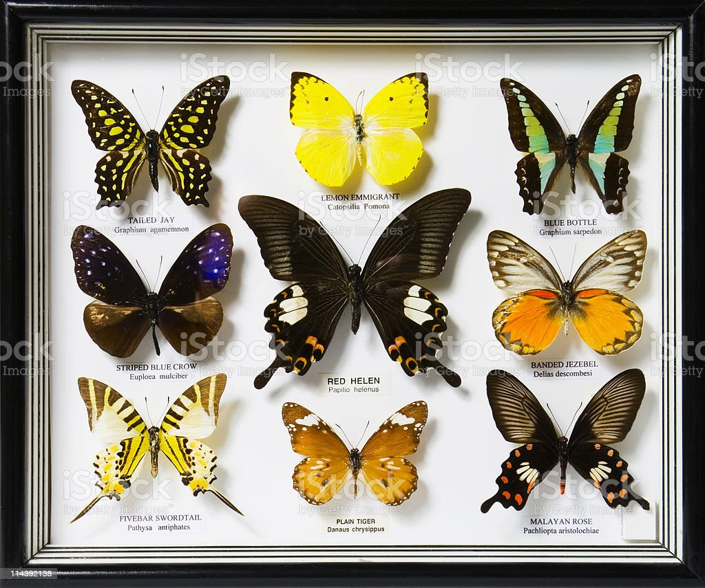 A display of nine different butterflies stock photo