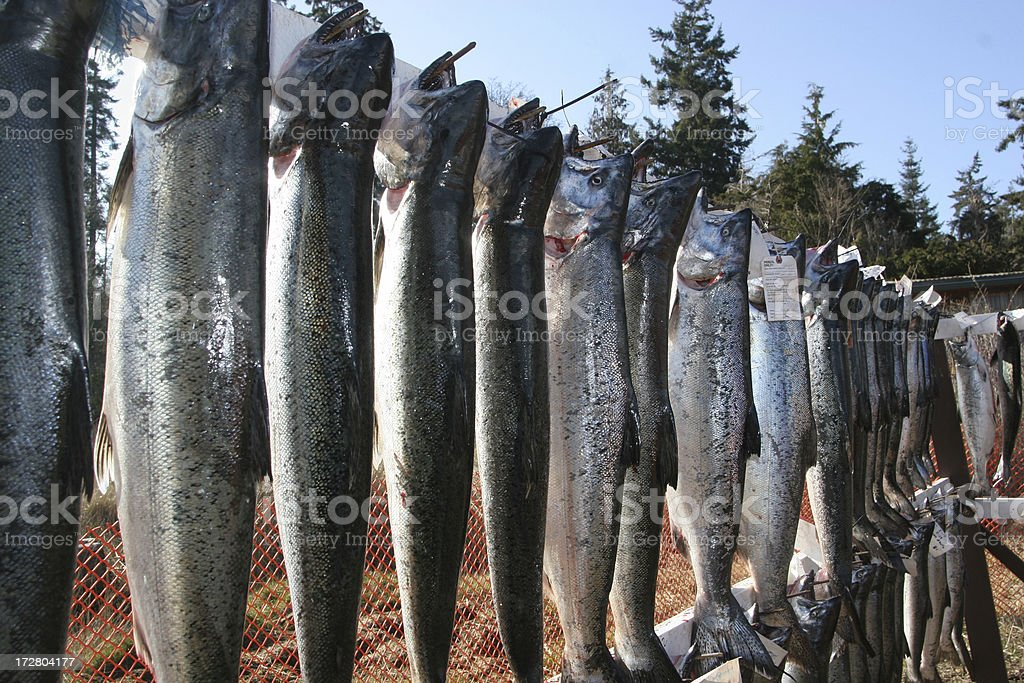 Display of Salmon At Fishing Derby royalty-free stock photo