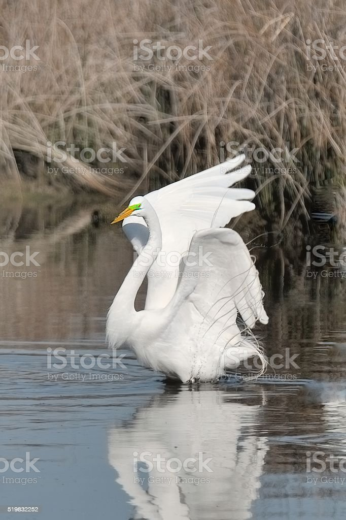 Displaying Male Great Egret stock photo