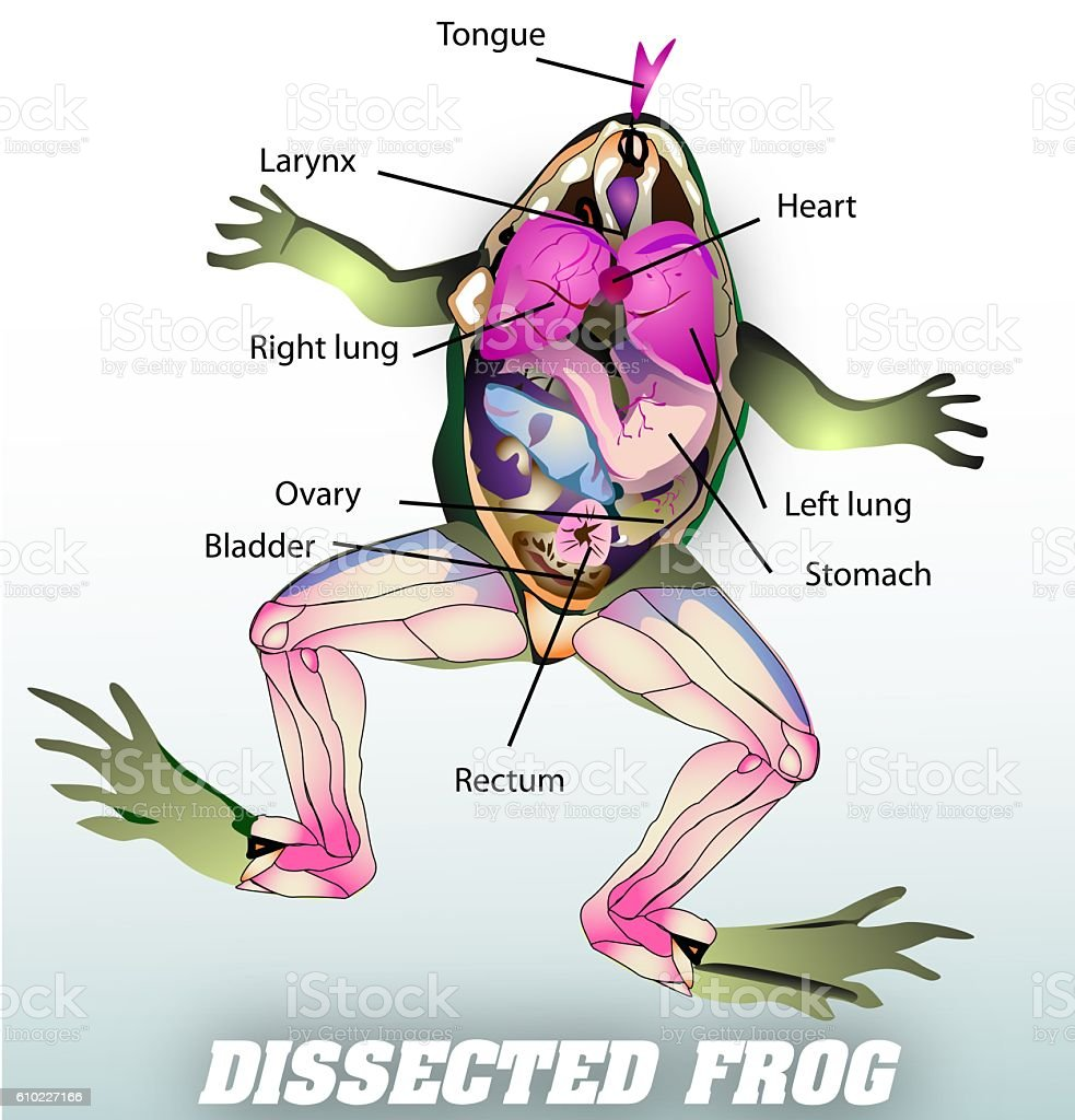 dissected frog stock photo
