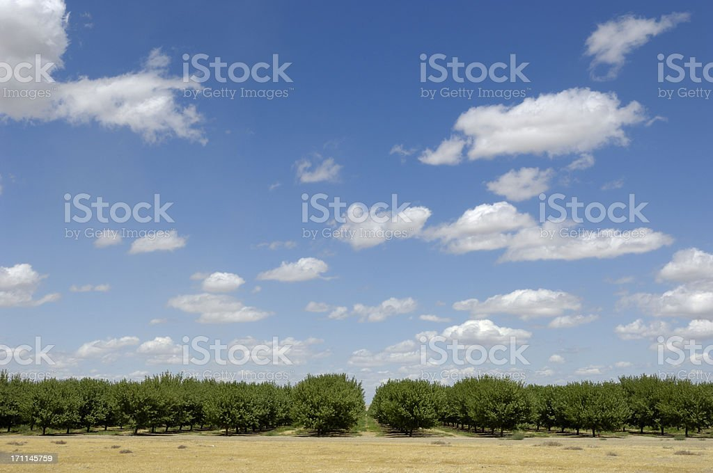Distant Orchard View of Ripening Almond Nuts royalty-free stock photo
