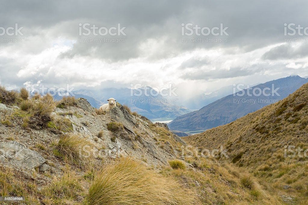 Distant sheep on New Zealand's landscape stock photo