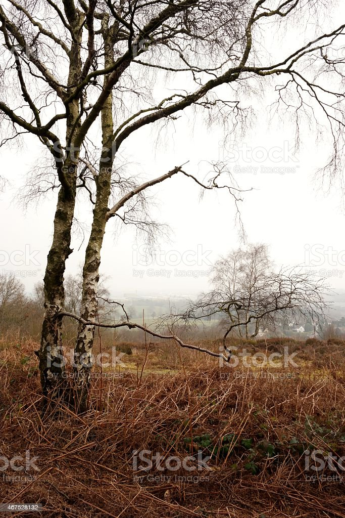 distant view with birch trees stock photo