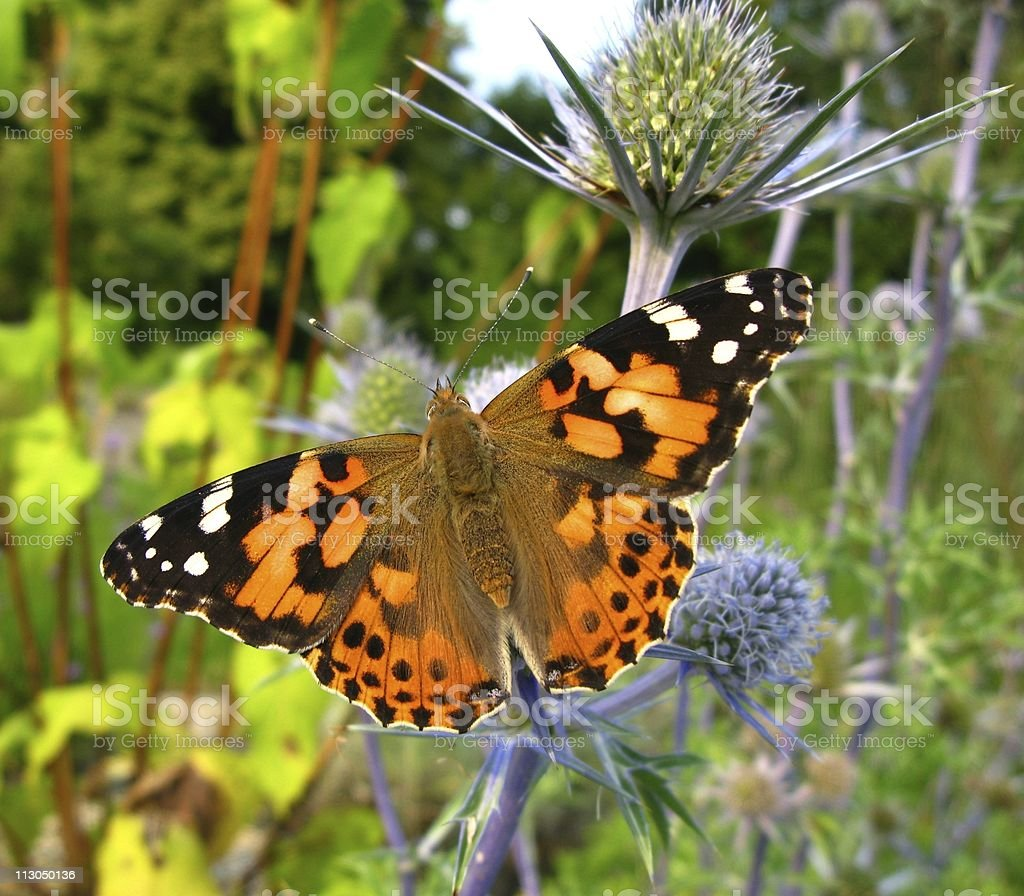 Distelfalter - Vanessa cardui stock photo