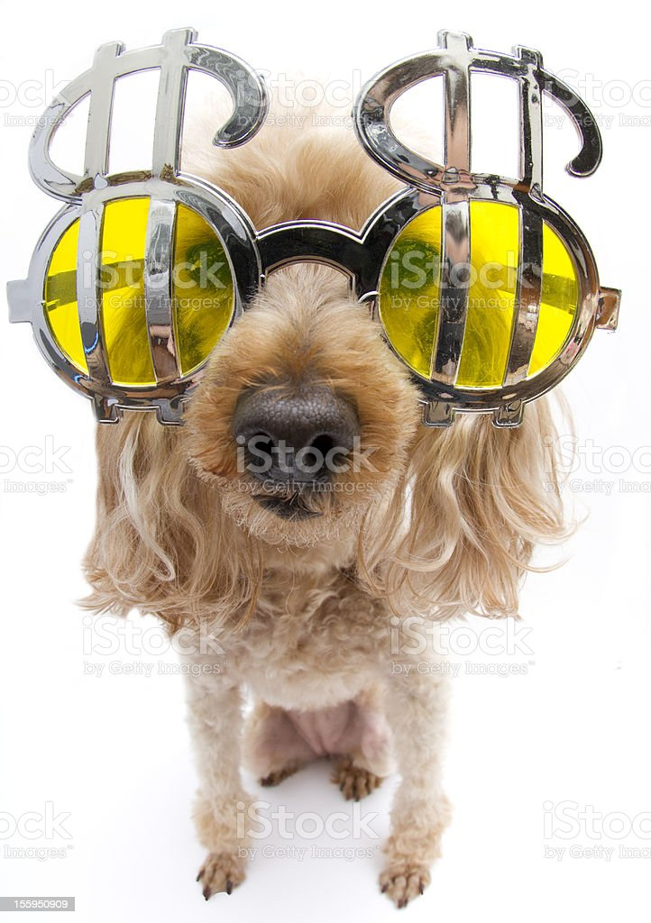 Distorted Greedy Poodle royalty-free stock photo