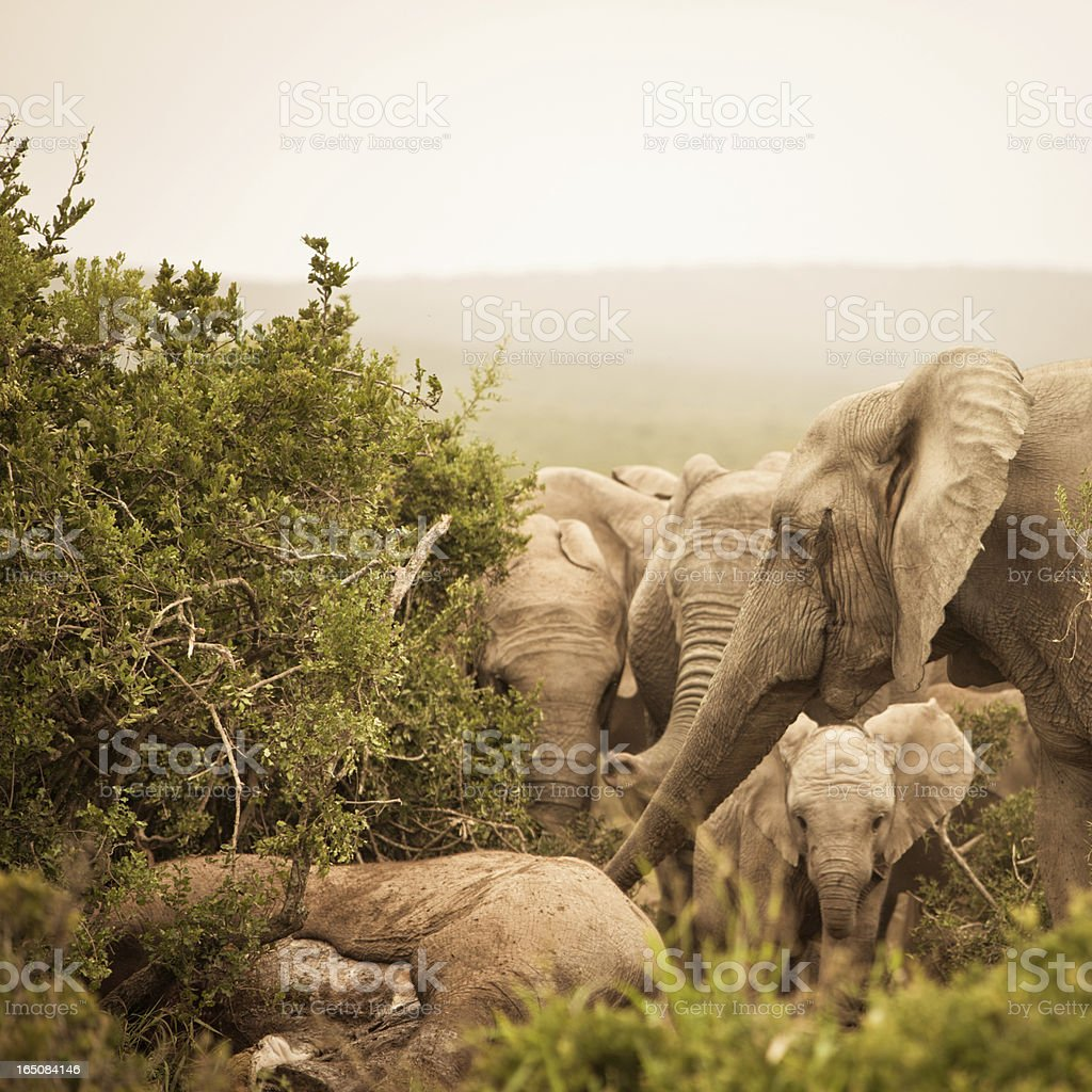 Distressed African Elephants mourning a dead family member stock photo