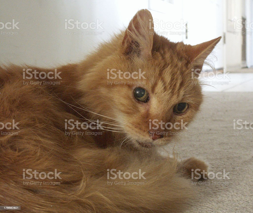 Distressed Cat With Long Orange Hair stock photo