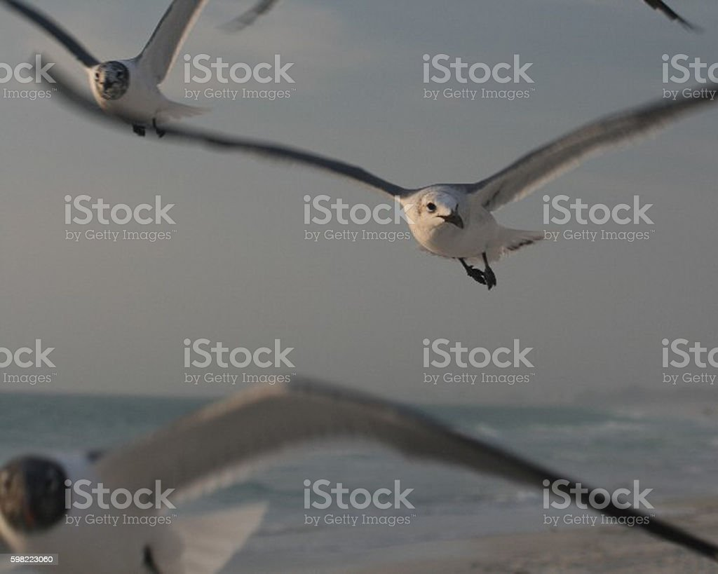 Dive Bombing Gulls stock photo
