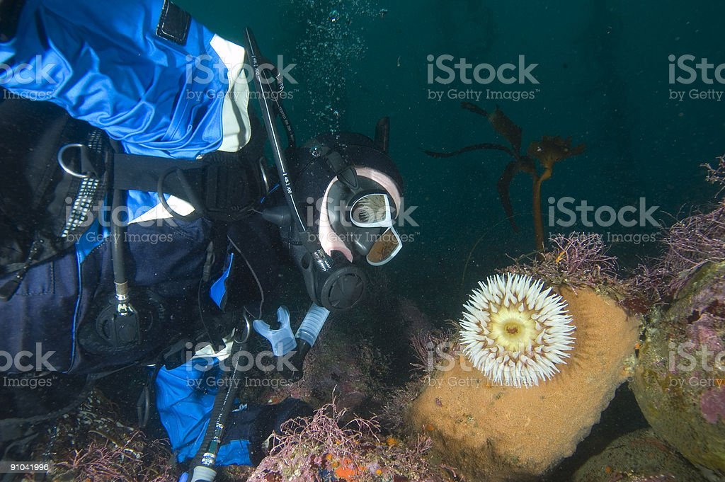 Diver and Anemone stock photo