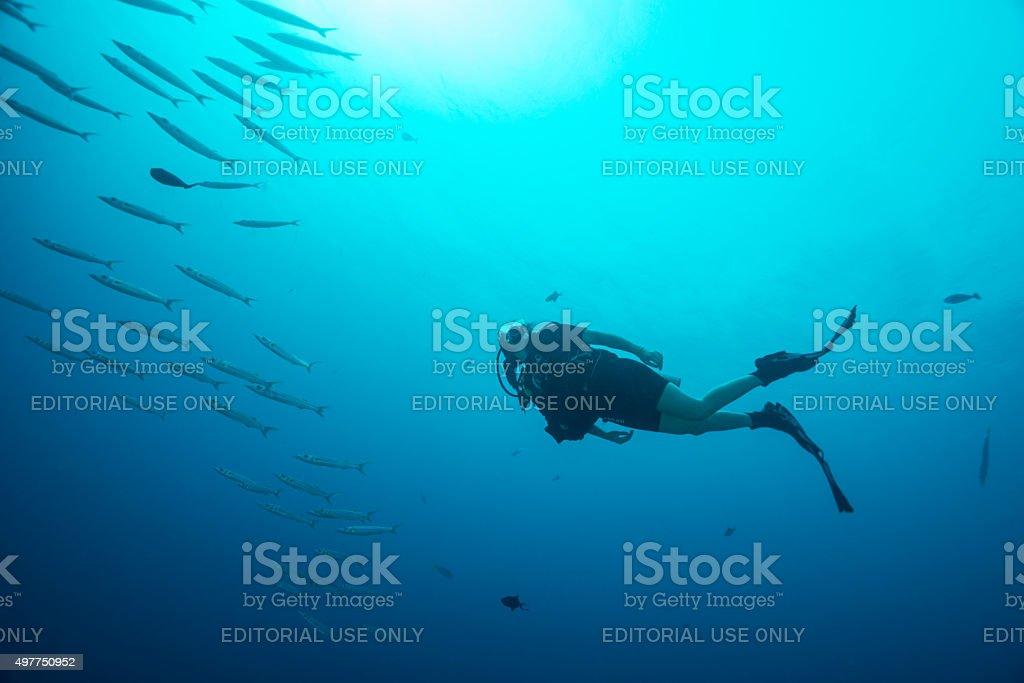 Diver and Barracudas - Palau, Micronesia stock photo