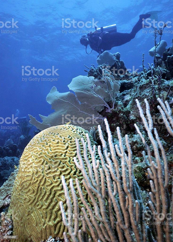 Plongeur et corail cerveau photo libre de droits