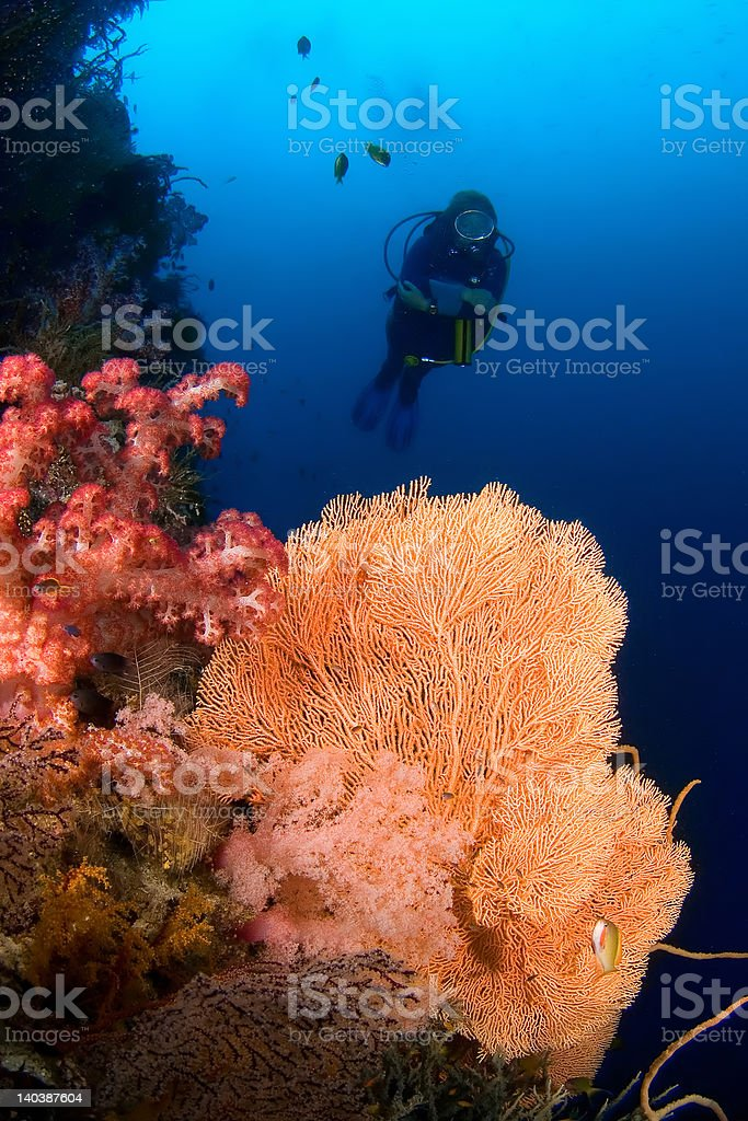 Diver and Gorgonia coral Indonesia Sulawesi stock photo