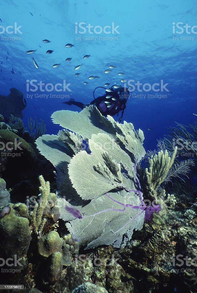 Diver And Purple Fan royalty-free stock photo