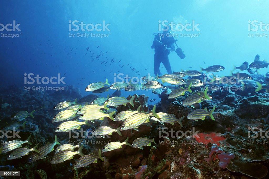 Plongeur et de jaune queue Snapper photo libre de droits