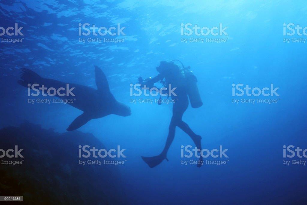 Plongeur attaqué par Lion de mer photo libre de droits