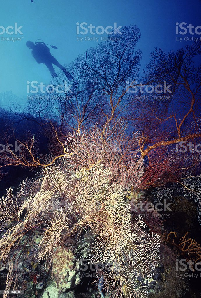 Diver Behind Giant Sea Fans royalty-free stock photo