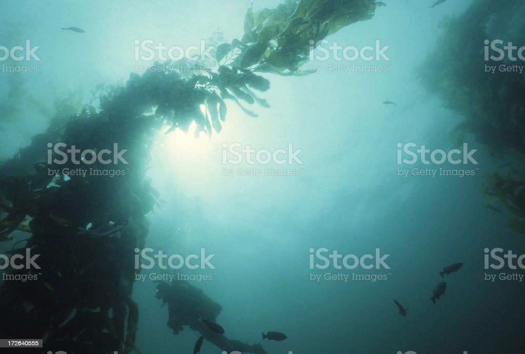 Diver In Open Kelp stock photo