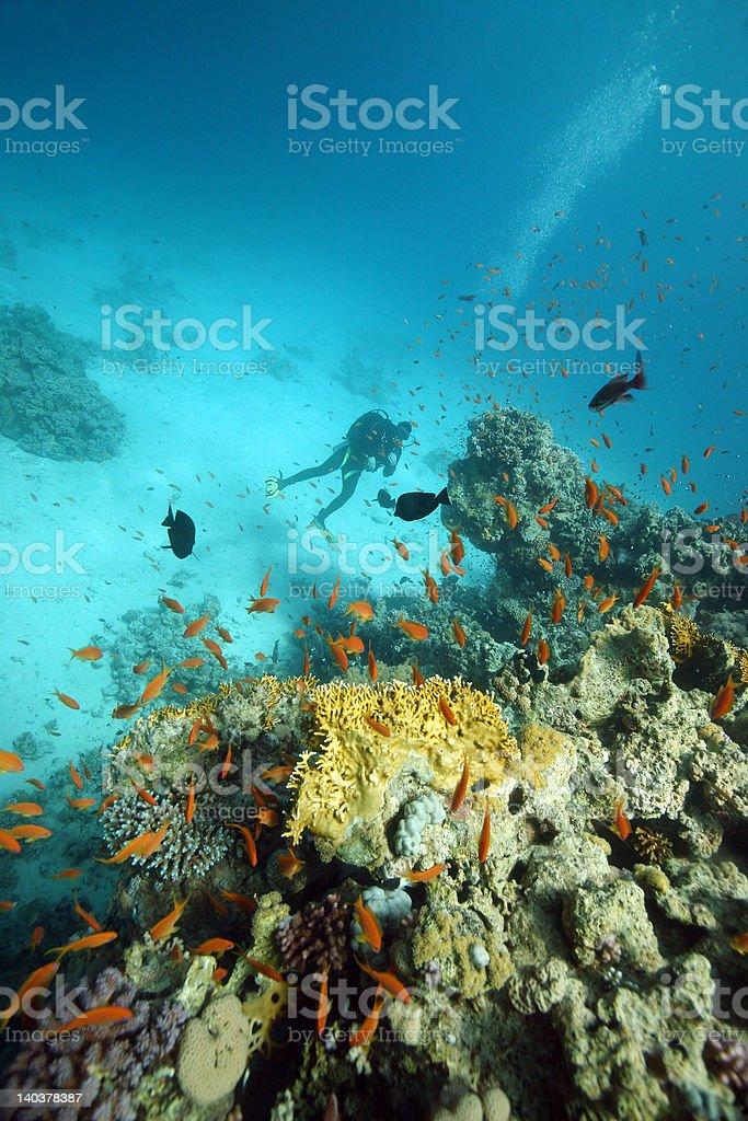 Plongée en mer Rouge photo libre de droits