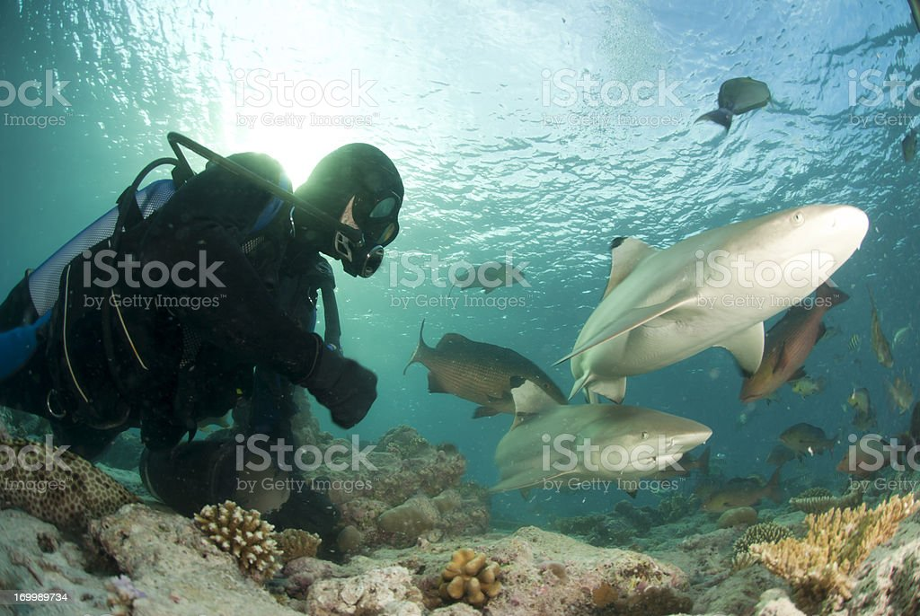 diver near two sharks stock photo