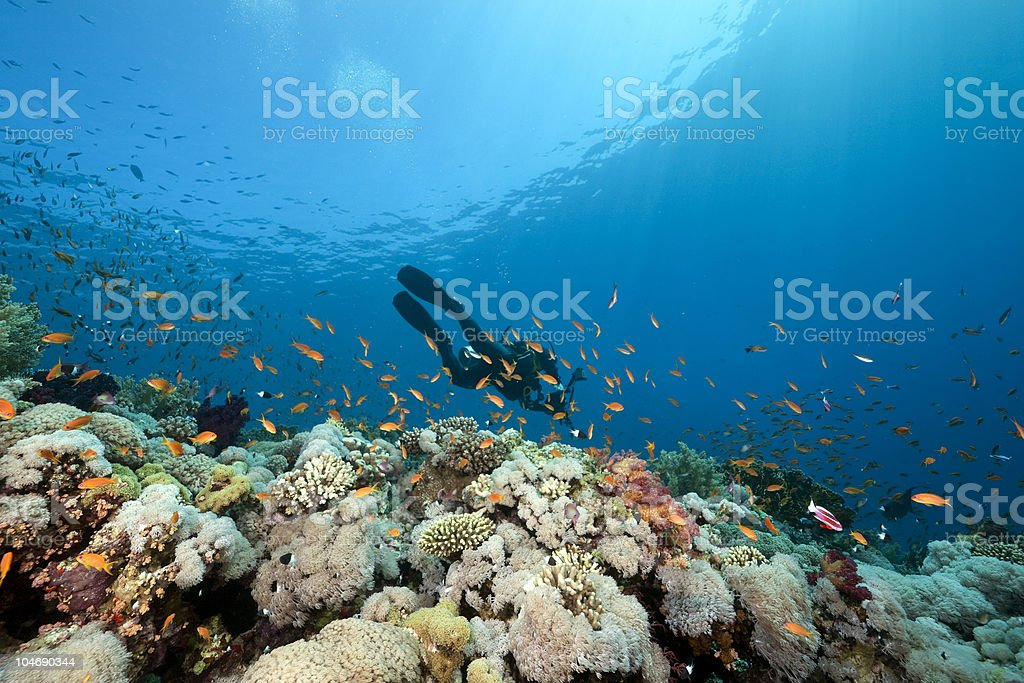 Diver swimming in the ocean among fish and corals royalty-free stock photo