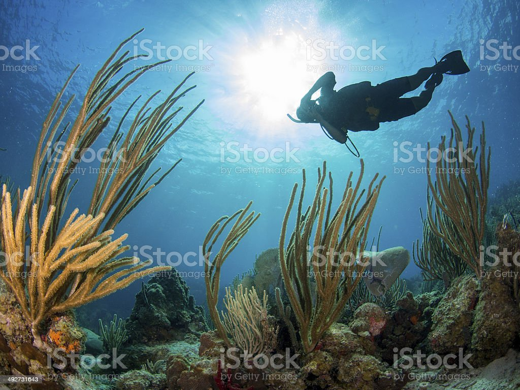 Diver swims over gorgonians in the Caribbean stock photo