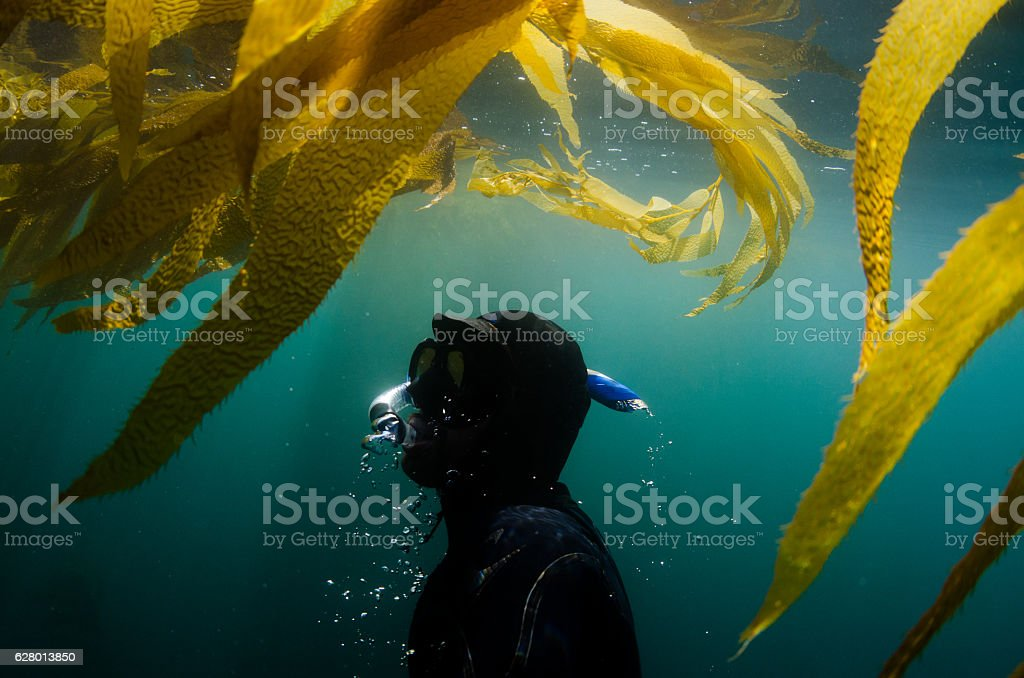 Diver underwater surfacing towards seaweed stock photo