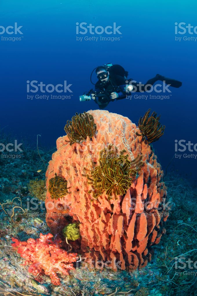 Diver with barrel sponge stock photo
