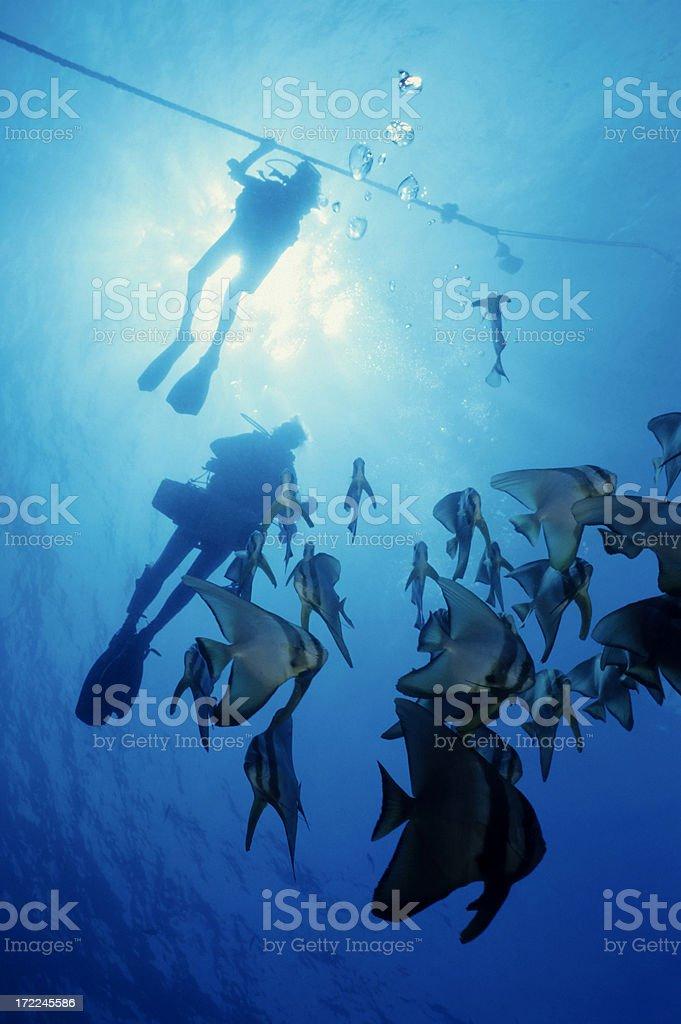Divers And Bat Fish royalty-free stock photo